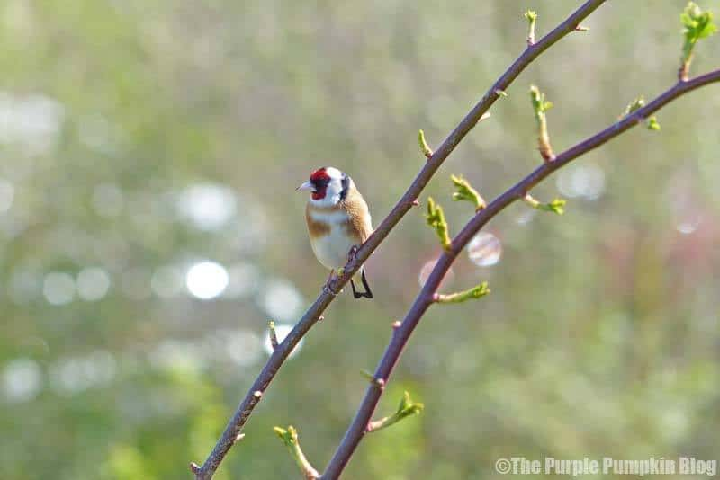 Rainham Marshes RSPB Nature Reserve - Goldfinch