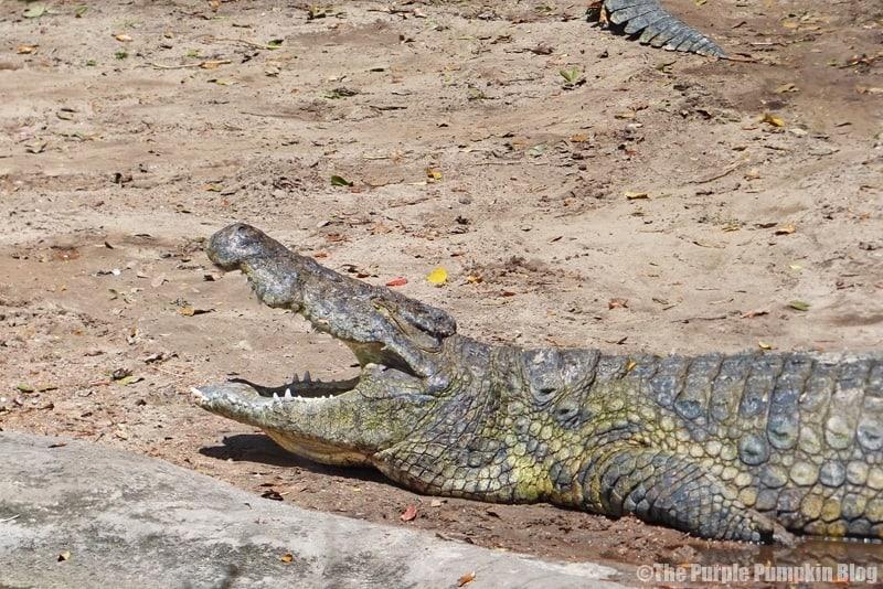 Nile Crocodile - Kilimanjaro Safaris at Animal Kingdom