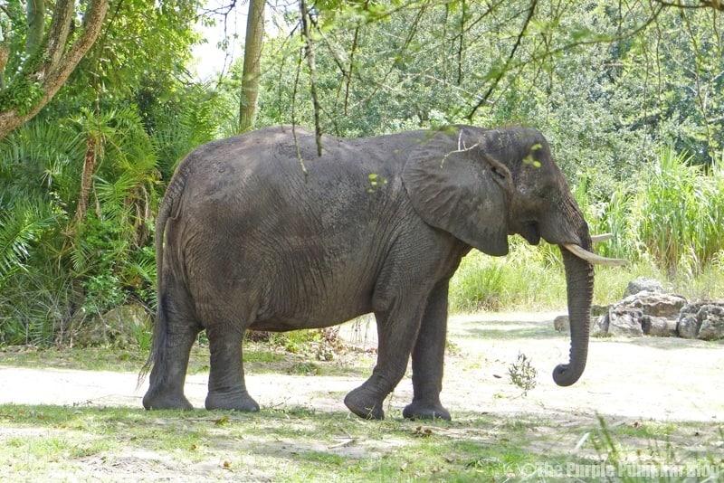 African Elephant - Kilimanjaro Safaris at Animal Kingdom