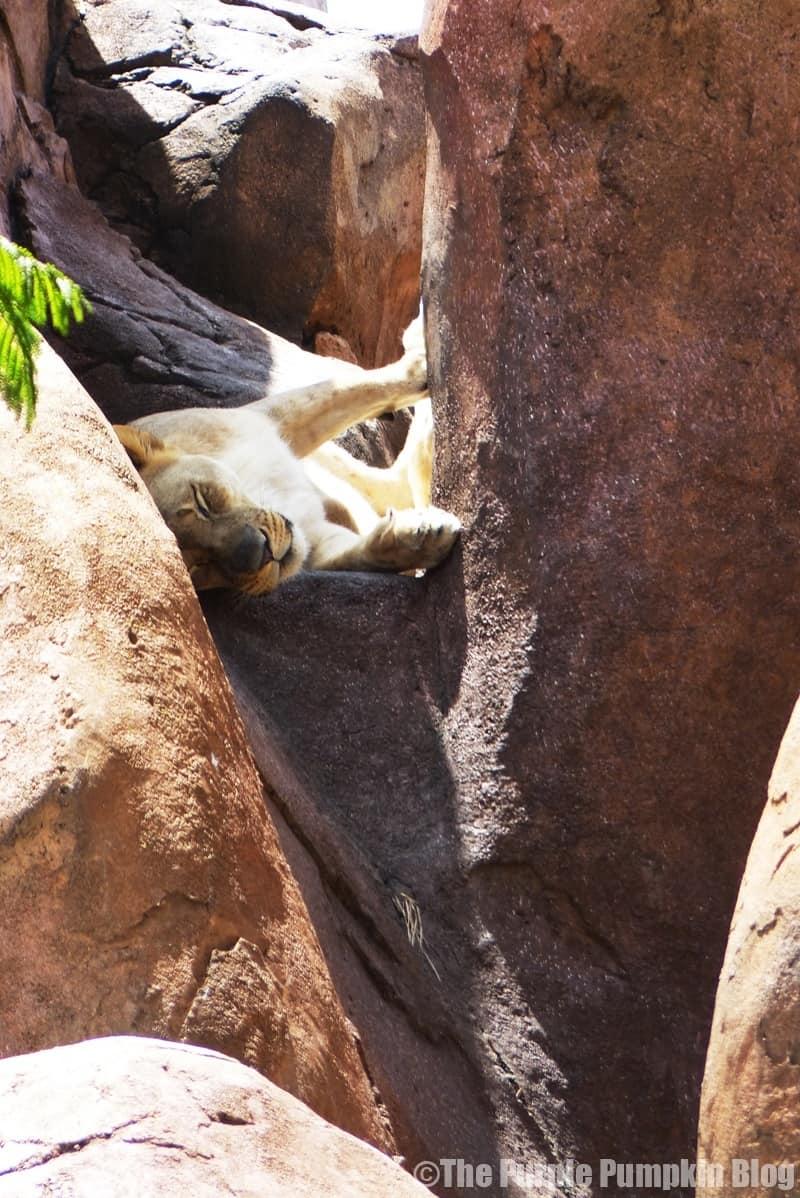 Lion - Kilimanjaro Safaris at Animal Kingdom
