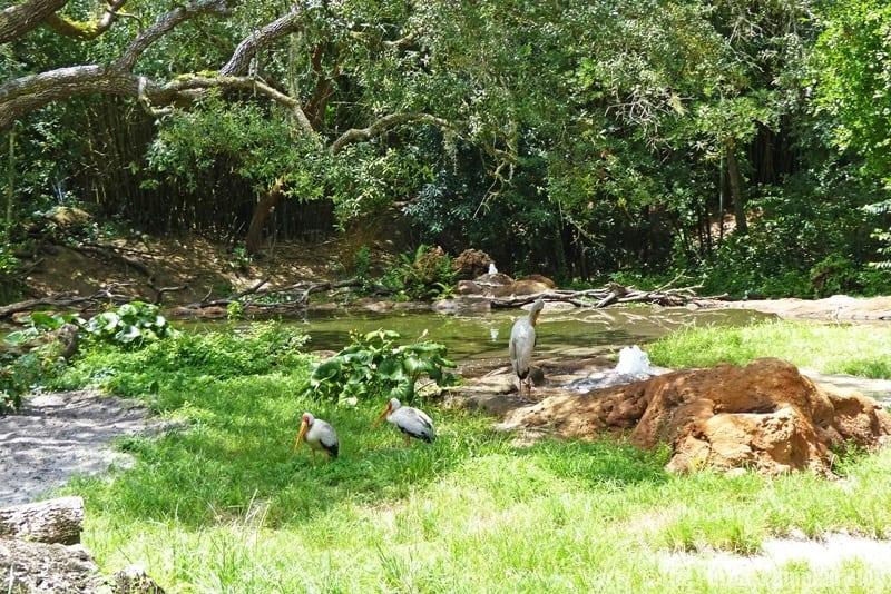 Marabou Stork - Kilimanjaro Safaris at Animal Kingdom