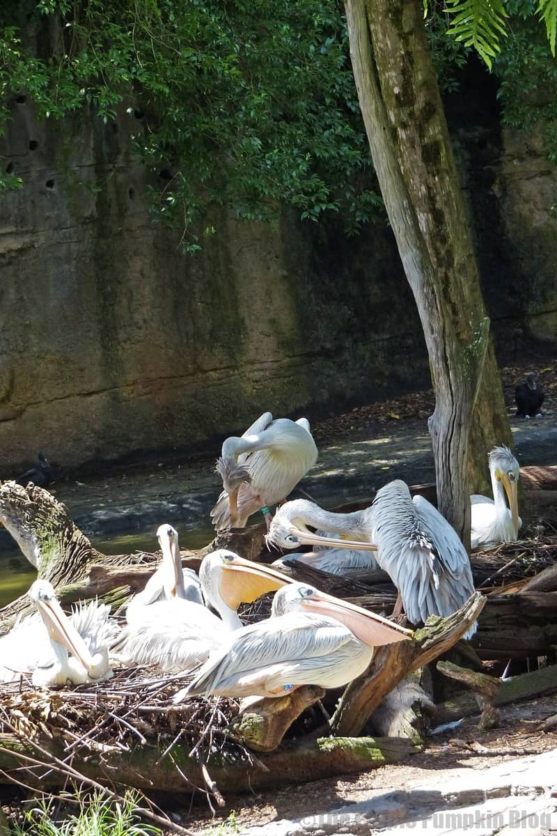 Pink Backed Pelican - Kilimanjaro Safaris at Animal Kingdom