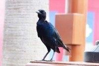 Black Bird at Downtown Disney