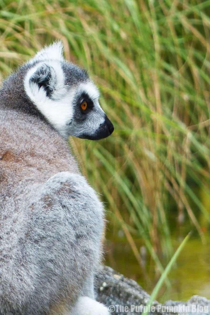 Lemur at Disney Animal Kingdom