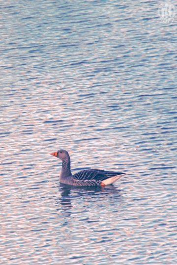 Project 365 - 2017 - Day 16: Goose on the water