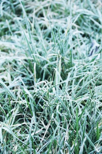 Project 365 - 2017 - Day 17 - frozen blades of grass
