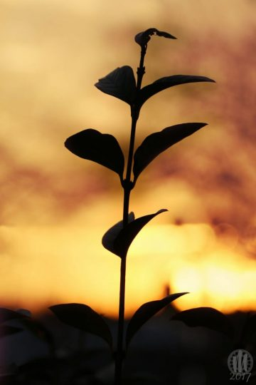 Project 365 - 2017 - Day 18: Plant stem with leaves against the sunset sky