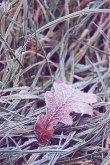 Project 365 - 2017 - Day 6: Frozen oak leaf on the grass