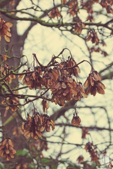Project 365 - 2017 - Day 7: Sycamore seeds on branches of tree