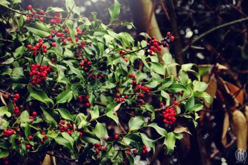 Project 365 - 2017 - Day 8: Holly leaves in the forest