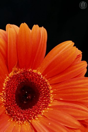 Project 365 - 2017 - Day 74 - Orange Gerbera