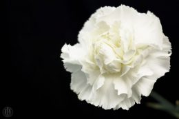 Project 365 - 2017 - Day 75 - white carnation