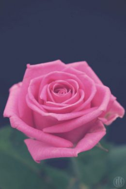 Project 365 - 2017 - Day 76 - Pink Rose