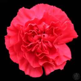 Project 365 - 2017 - Day 82 - Red Carnation
