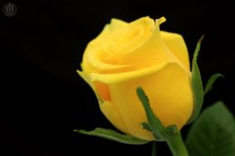 Project 365 - 2017 - Day 84 - Yellow rose