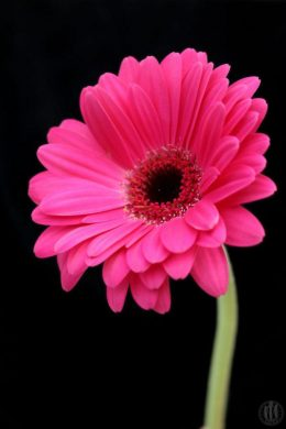 Project 365 - 2017 - Day 86 - Pink gerbera