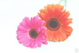 Project 365 - 2017 - Day 88 - pink and orange gerberas