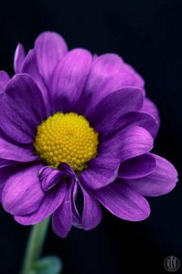 Project 365 - 2017 - Day 126 - Purple Flower