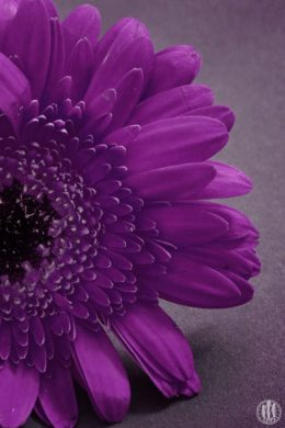 Project 365 - 2017 - Day 138 - Purple Flower