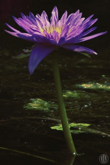 Project 365 - 2017 - Day 145 - Water Lily