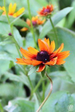 Project 365 - 2017 - Day 173 - Orange Flower
