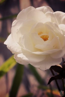 Project 365 - 2017 - Day 219 - White Rose