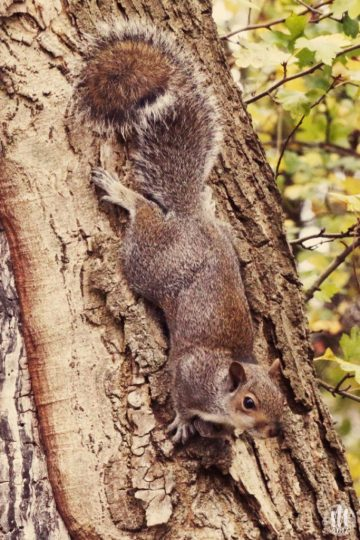 Project 365 - 2017 - Day 307 - squirrel on a tree