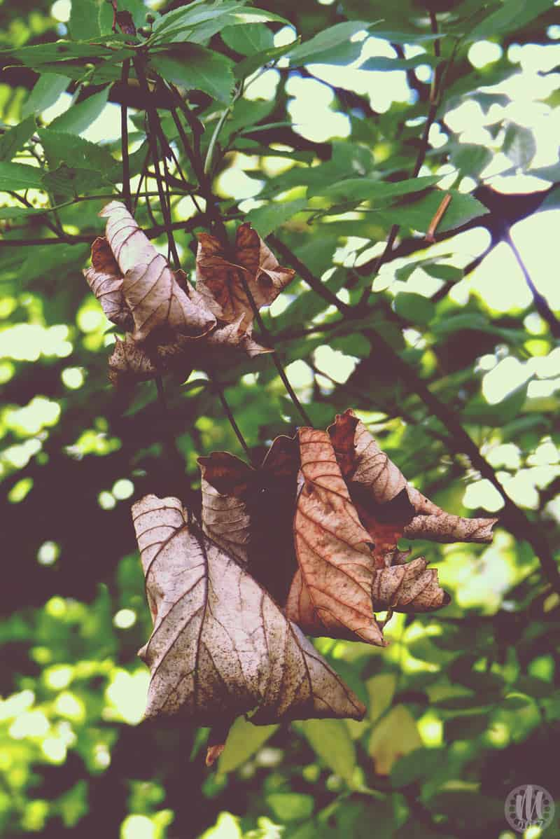 Project 365 - 2017 - Day 331 - brown leaves on a tree