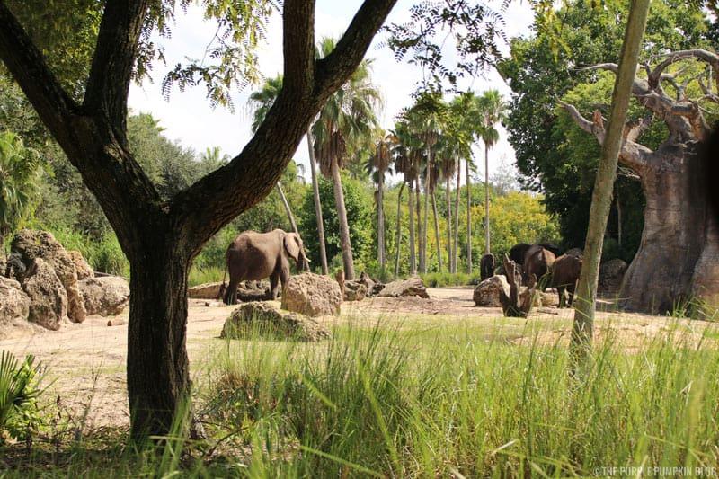 Kilimanjaro Safaris - Animal Kingdom - Elephants