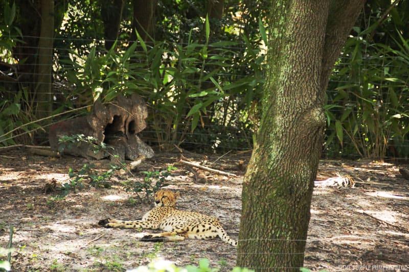 Kilimanjaro Safaris - Animal Kingdom - Cheetah