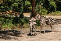 Kilimanjaro Safaris - Animal Kingdom - Zebra