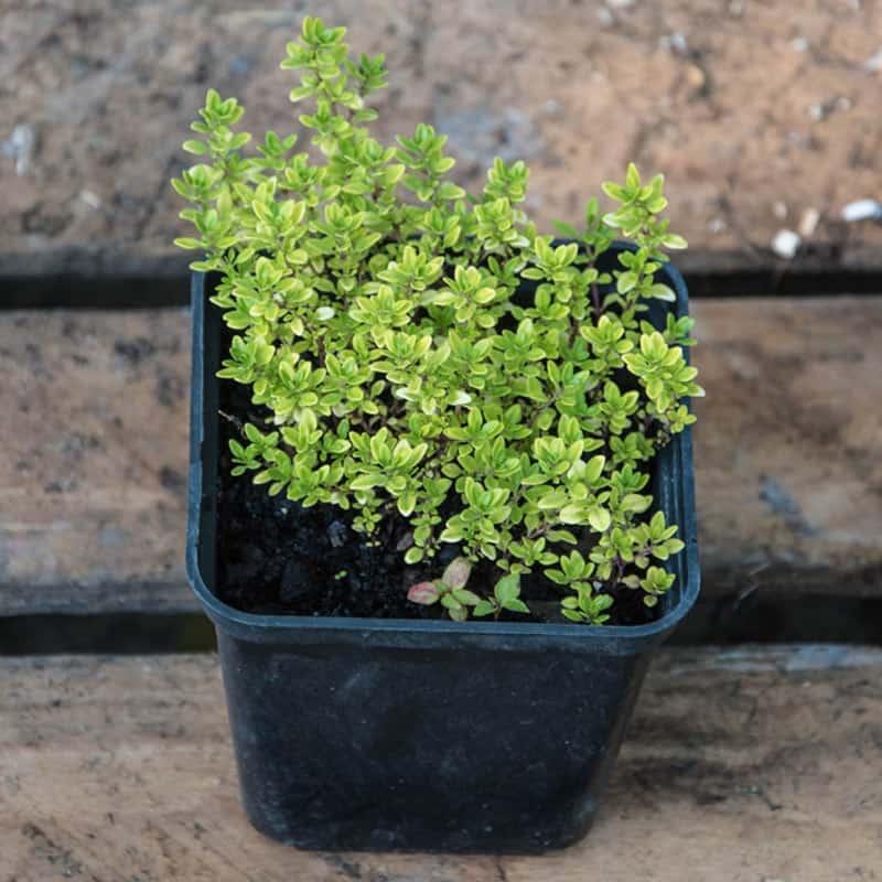 Fresh Herbs - Thyme
